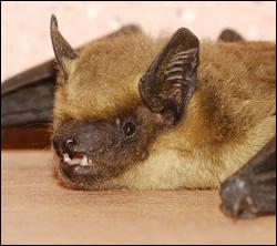 bat removal Burleson