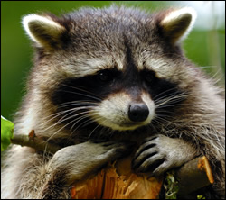 raccoon removal Burleson