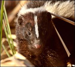 skunk removal Burleson